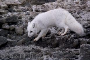 photo of Arctic Fox Beach Foraging Hudson Bay Manitoba