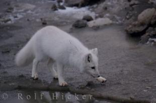 photo of Arctic Fox Tundra Churchill Wildlife Management Area Hudson Bay Manitoba