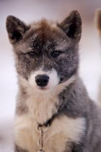 photo of Arctic Canadian Eskimo Dog Puppy