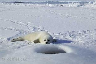 photo of Arctic Seal