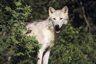 photo of Arctic Wolf image