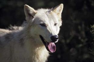 photo of Arctic Wolves