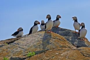 photo of Atlantic Puffin Birds Island Bonavista Peninsula Newfoundland Labrador