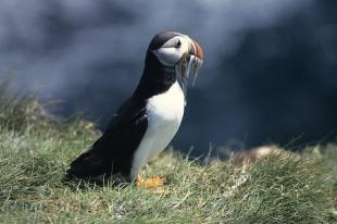 photo of Atlantic Puffin