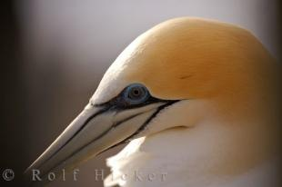 photo of Australasian Gannet Profile