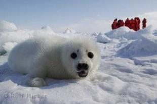 photo of Baby Seal Picture