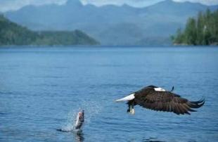 photo of bald eagle loosing fish