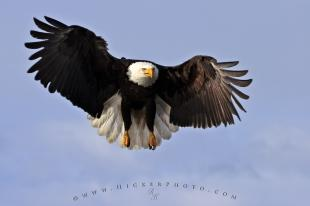 photo of Bald Eagle Pics