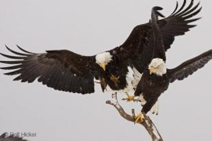 photo of Bald Eagles Fighting