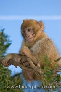 photo of Barbary Ape Monkey Rock Of Gibraltar Britain
