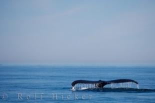 photo of Humpback Tail Fluke Whale Watching Bay Fundy Nova Scotia