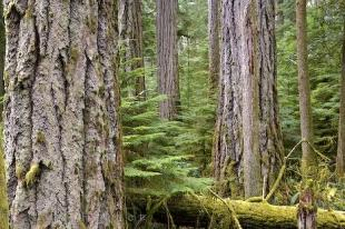 photo of BC Old Growth Forest Cathedral Grove
