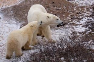 photo of Bear Cub And Mom Churchill Wildlife Management Area