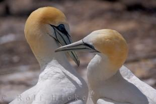 photo of Beautiful Bird Picture Australasian Gannets Hawkes Bay New Zealand