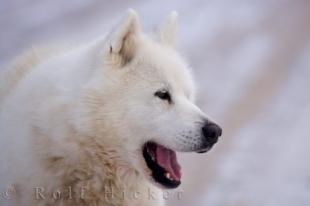 photo of Beautiful Canadian Eskimo Dog Picture