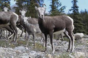 photo of Big Horn Sheep Rocky Mountains