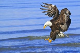 photo of Birds Of Prey Fishing Bald Eagle