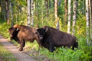 photo of Bison Enclosure Riding Mountain National Park Manitoba