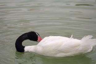 photo of Black Necked Swan