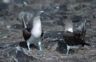 photo of Blue Footed Boobies