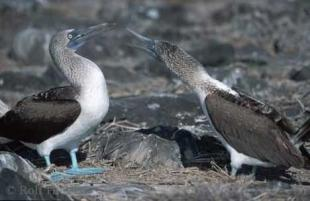 photo of blue footed booby