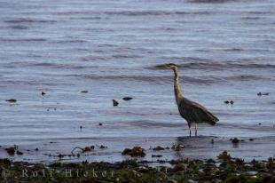 photo of Blue Heron Vancouver Island