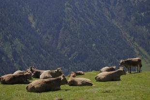 photo of Bonaigua Pass Cows