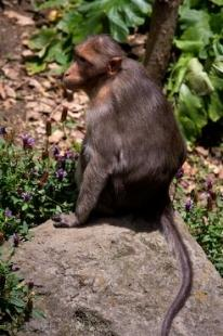 photo of Bonnet Macaque Monkey