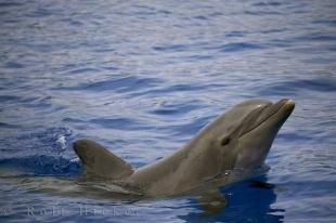 photo of Bottlenose Dolphin Profile Valencia Spain Aquarium