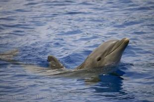 photo of Bottlenose Dolphin Tursiops Truncatus Valencia Spain