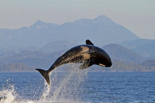 photo of Transient Killer Whale Breach