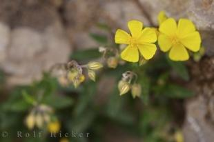 photo of Buttercup Flowers Picture