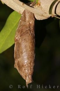photo of Butterfly Cocoon Picture