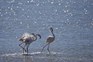 photo of Greater Flamingo Birds Camargue France