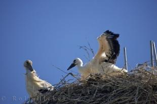 photo of Camargue White Storks Nesting Picture