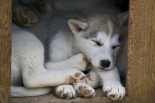 photo of Canadian Eskimo Dog Puppies Picture
