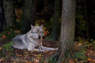 photo of Timber Wolf Canis Lupus Parc Omega Montebello Quebec Canada