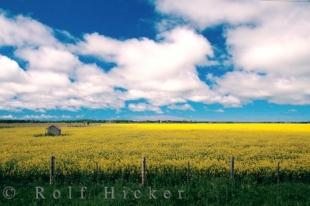 photo of Canola Flowers Alberta