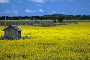 photo of canola field