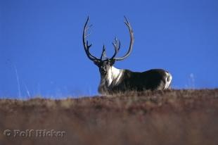 photo of Caribou Stag Picture Denali National Park Alaska