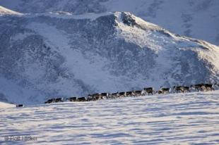 photo of caribou herds