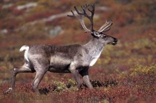 photo of Caribou Bull Fall Season