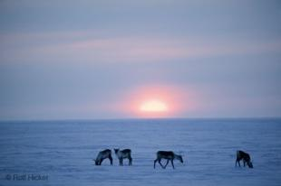 photo of Caribous Anwr