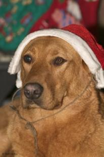 photo of Christmas Pictures Santa Dog