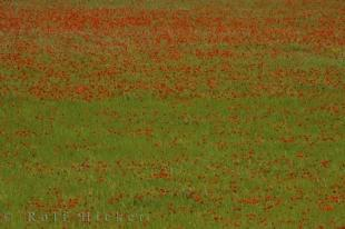 photo of Colorful Poppy Field Riez Village Provence France