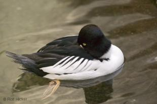 photo of Common Goldeneye Duck