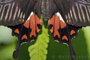 photo of Common Mormon Butterfly Close Up Tail Wing