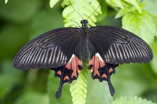 photo of Common Mormon Butterfly