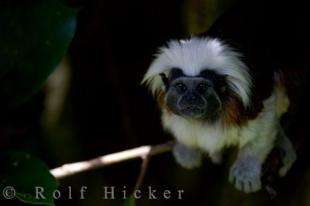 photo of Cotton Topped Tamarin New Zealand