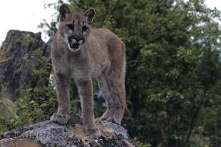 photo of Cougar Photo Canada